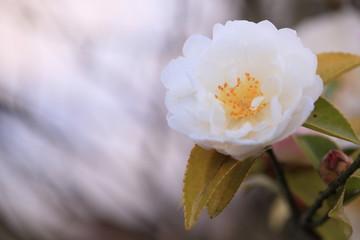 丸い山茶花
