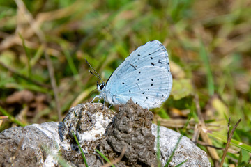 Holly blue butterfly taking nutrients from wild duck faeces