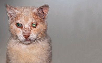 Old, stray street cat on grey background