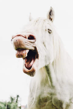 Nickering white horse with opened mouth