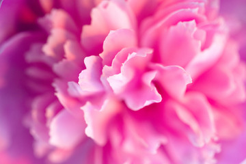 Pink peonies close-up, toned, soft focus. Gentle floral pink background