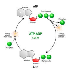 ATP ADP cycle. Adenosine triphosphate (ATP) is a organic chemical that provides energy for cell. intracellular energy transfer.