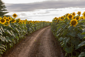 Path through a sunflower field in Wisconsin