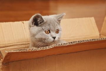 jeune chaton race british shorthair yeux jaune orange se cachant dans une caisse en carton