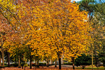 Autumn season scene, with colorful maple trees in urban park.