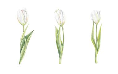 Drei Tulpen, Blumen, freigestellt auf weiß, Illustration von Kathrin Schwertner