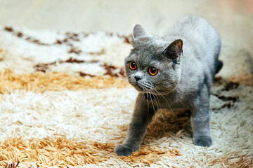 High angle view of gray striped cat looking up. British Shorthair