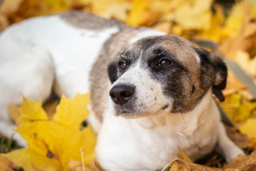 The dog lies in the autumn leaves