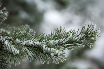 Frozen needles of pine tree branches in winter with patterns floes, background beauty in nature