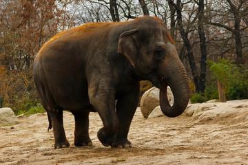 Red hair elephant