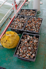 Fresh Caught Rapana Mollusk. Industrial fishing marine rapanov. Fresh catch of sea mollusks in plastic boxes