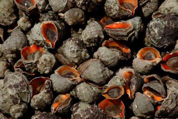 Fresh Caught Rapana Mollusk. Industrial fishing marine rapanov. Fresh catch of sea mollusks in plastic boxes
