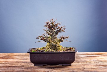 Japanese bonsai tree in pot on grey background.
