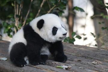 Printed roller blinds Panda Cute Little Panda Cub Fluffy Face