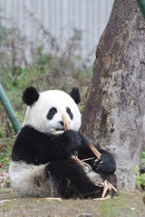 Autocollant pour porte Panda Little Panda Cub is Learning to Eat Bamboo Shoot