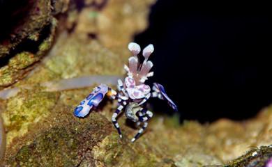 Harlequin shrimp in coral reef aquarium