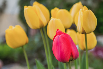 Flowerbed with yellow and red tulips with green leaves