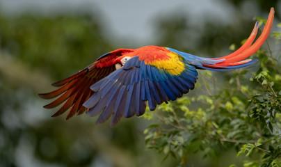 Scarlet Macaw in Costa Rica  Fotomurales