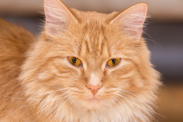 The Blond Cat