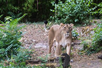 Löwin streift durch ihr Revier
