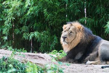 liegender Löwe dreht den Kopf in 45 Grad zur Kamera