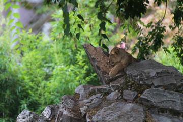 Kopf eines Löwenbaby im Seitenprofil auf Felsgestein