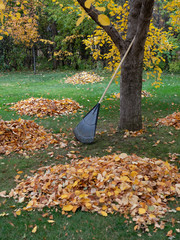 Rake Resting Against a Tree with Leaf Piles