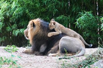 Löwenbaby klettert auf Löwen-Papa