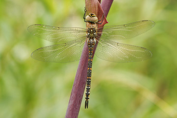 A female Migrant Hawker dragonfly (Aeshna mixta) perched on Angelica (disambiguation).