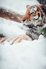 Portrait of a Siberian tiger in the snow.
