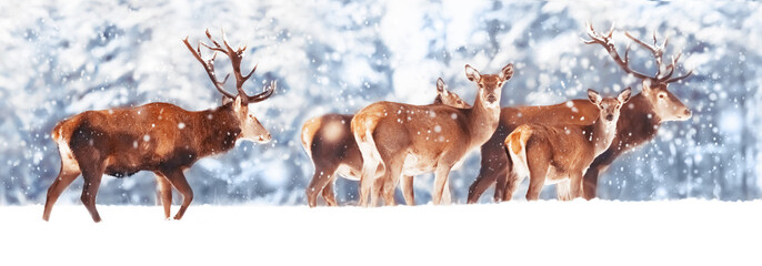 Fototapete - A noble deer with females in the herd against the background of a beautiful winter snow forest. Artistic winter landscape. Christmas photography. Winter wonderland. Banner design.