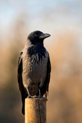 Hooded crow in the wild