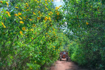 Da Lat, Vietnam - October 29th, 2018: The farmers are driving a tractor at path of countryside, bush of wild sunflower bloom in yellow, colorful scene, beautiful nature, Da Lat, Vietnam