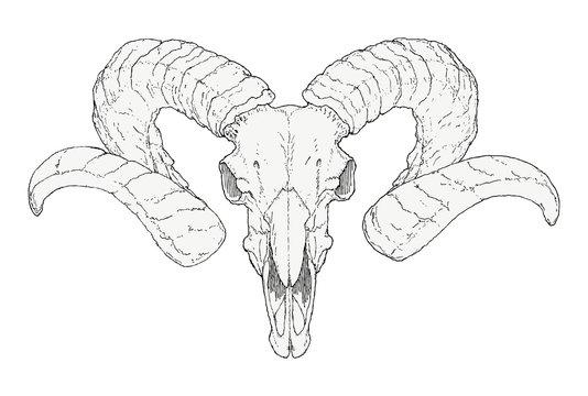 Hand-drawn Goat skull
