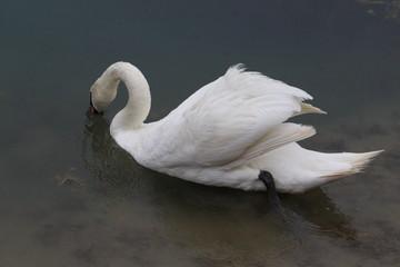 Tuinposter Zwaan Wild Swans (photo Czech Republic, Europe)