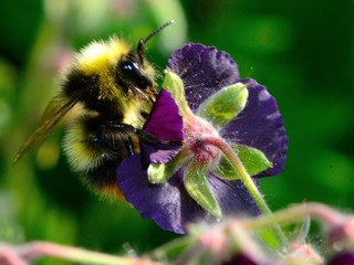 Macro shot of a bee on a geranium phaeum flower