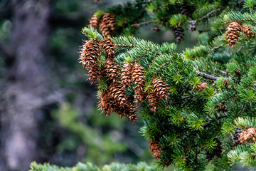 Fir tree fruit, Waterton Lakes National Park, Alberta, Canada