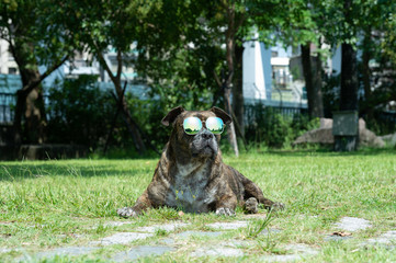 Happy dog with sunglasses, Pit bull, amstaff, stafford in the park.