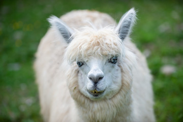 White Alpaca camel looks in the camera wioth green background.