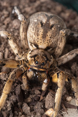 Closeup wolf spider species,Lycosa tarantula