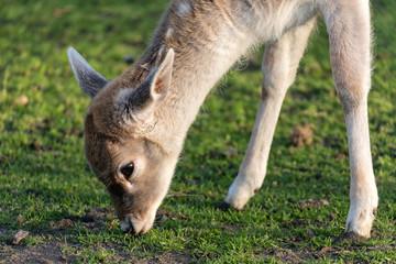 grazing fallow deer fawn
