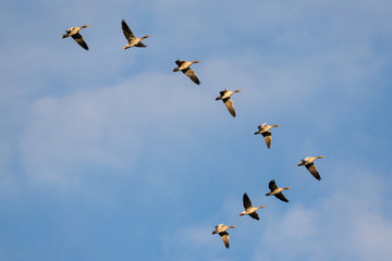 migrating greylag geese in the sky above the Dutch island of Texel