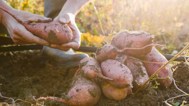 Farmer digging up with a showel and harvesting sweet potatoes at field