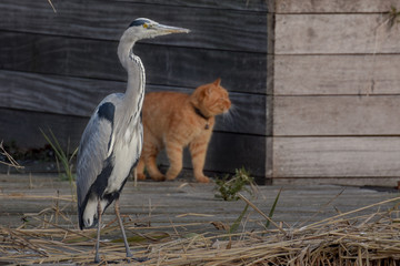 Heron with orange cat in the background