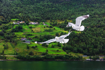 couple of seagulls over fjord of Norway