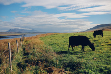 Cows eats the grass on the field at sunny weather on a green hill at the northern Iceland with the view to mountains and the sea