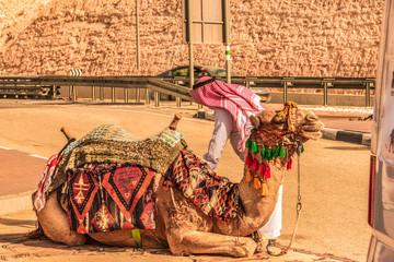 Camel ready to start the trip. Judaean desert