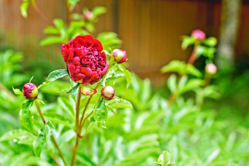 One blooming bright red peony flower with green foliage and small buds floral background