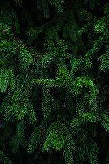 fir tree branches close-up