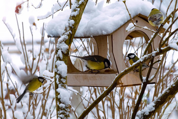 a flock of blue tits in the winter morning near the feeders